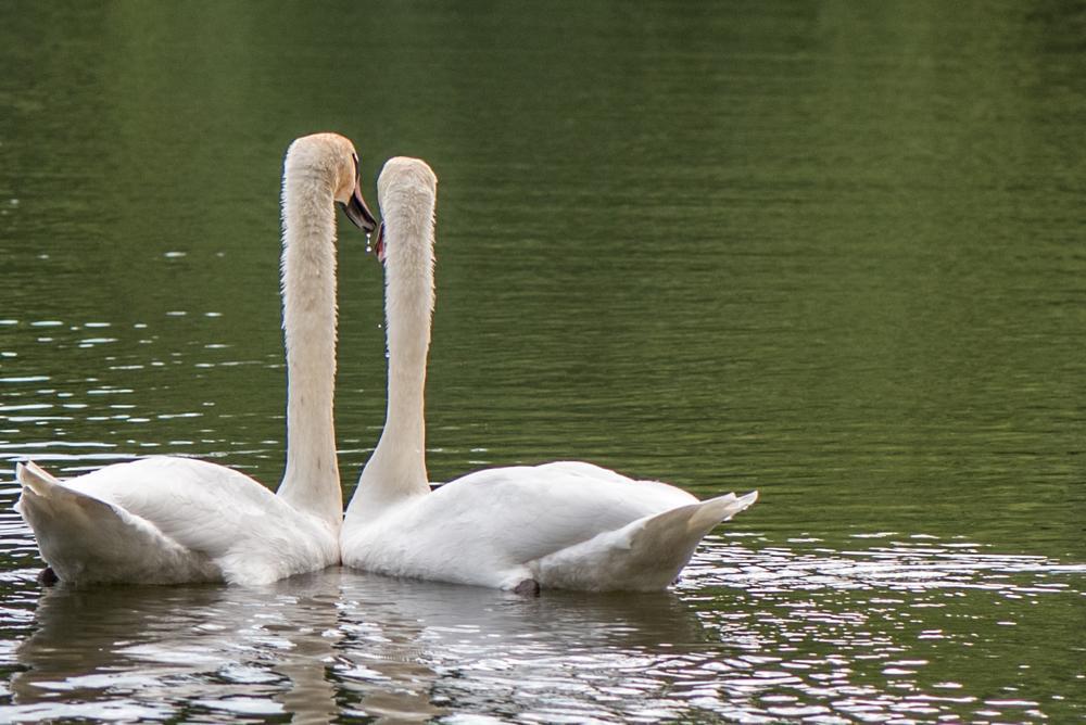 Photo in Animal #swans in love #nature #birds