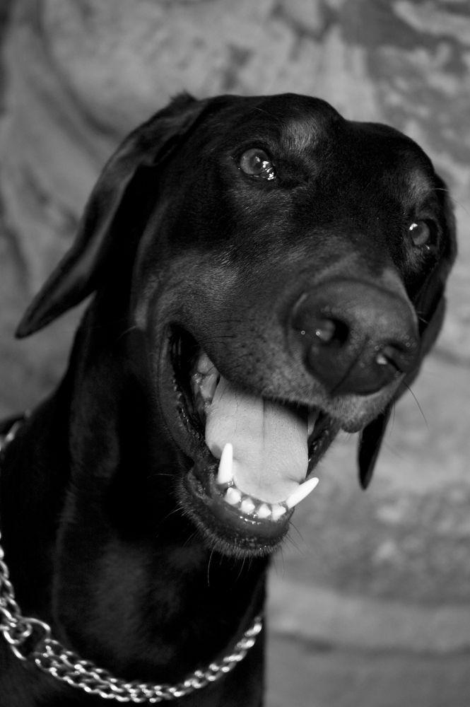 Photo in Portrait #animal #dog #black #portrait #pet