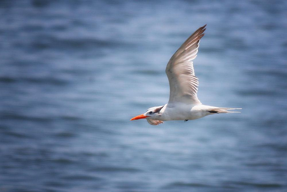 Photo in Nature #cuba #caribbean #seabirds #terns #tern #seabird
