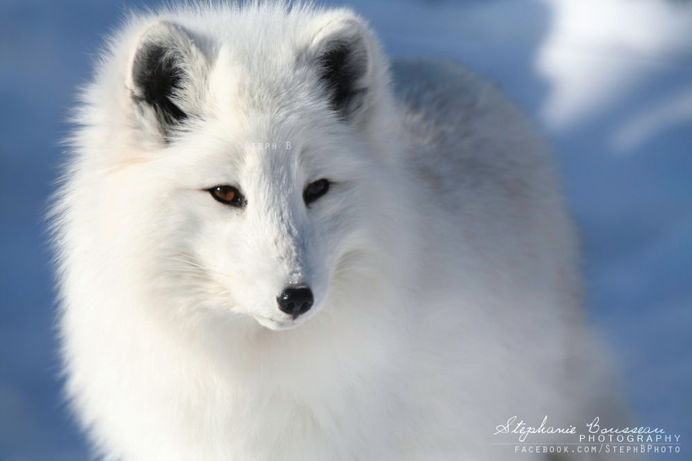 Photo in Animal #arctic #fox #lost #in #the #snow #potter #park #zoo #michigan #wild #animal #canid