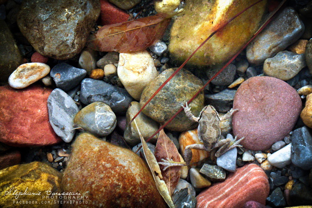Photo in Animal #red #rock #canyon #nevada #wildlife #frog #hidden #underwater #rocks #color #colorful
