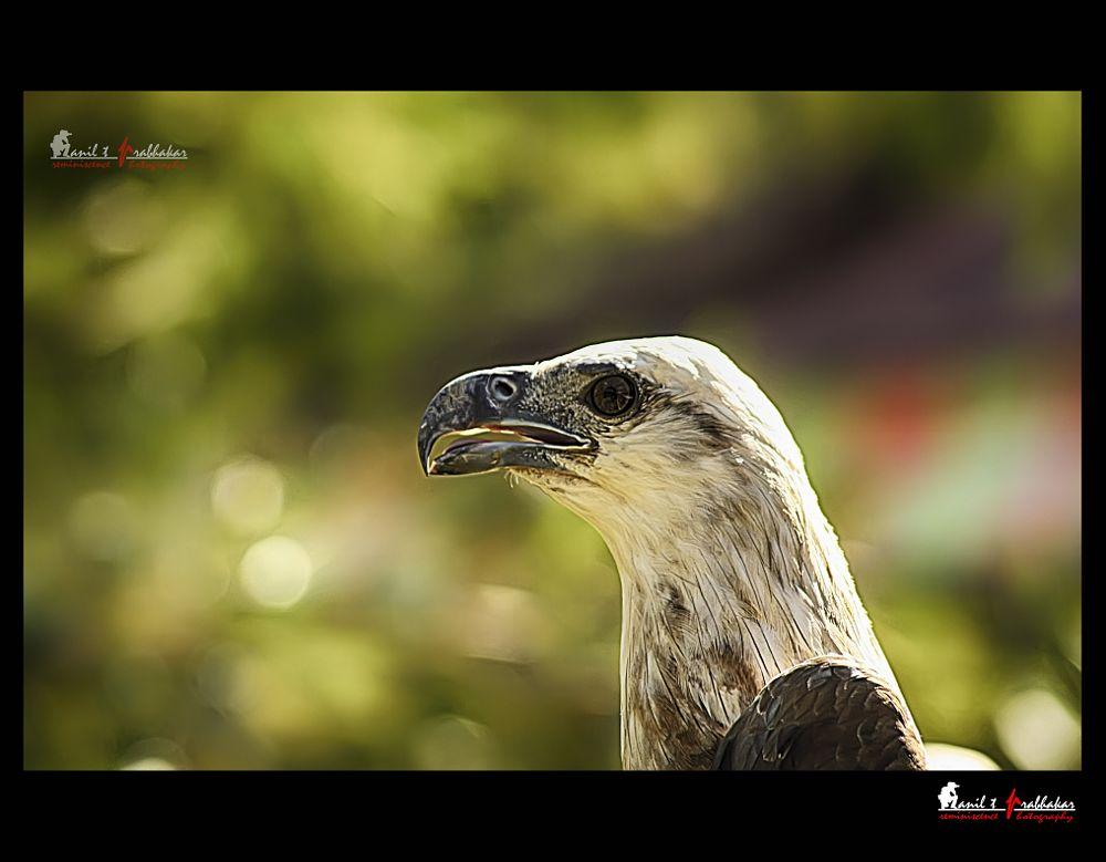Photo in Animal #bird #animal #brahminykite