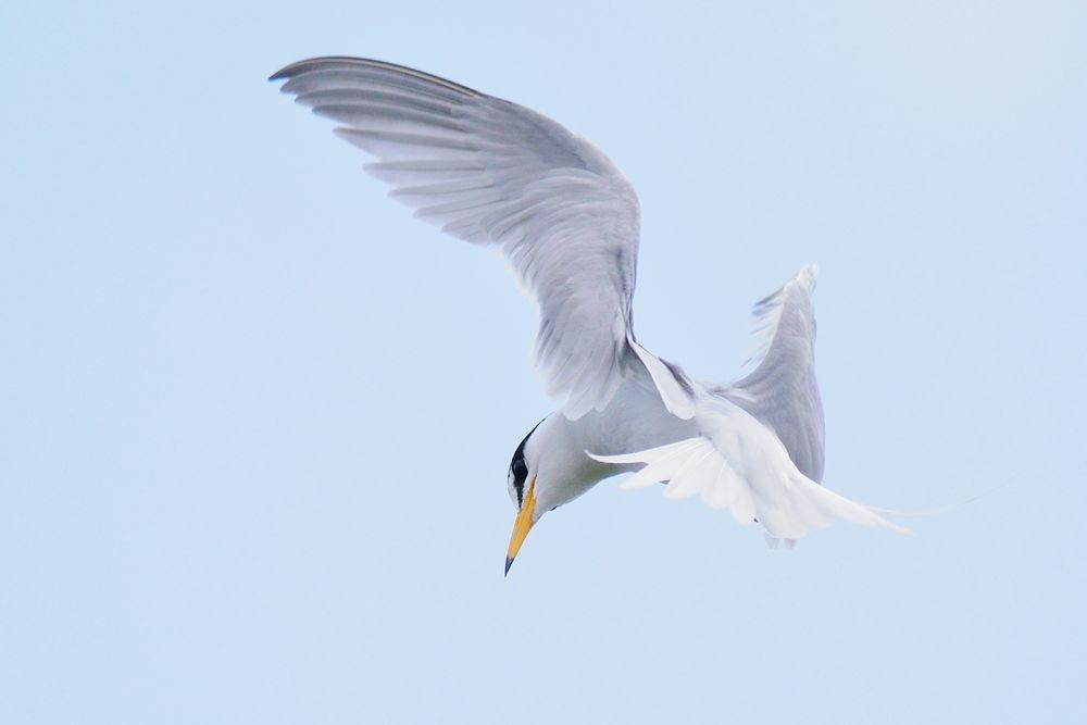Photo in Animal #little tern #bird