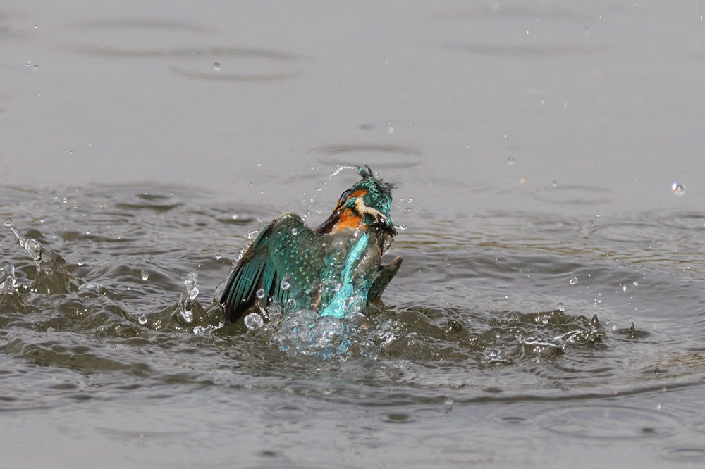 Photo in Animal #kingfisher #bird #water