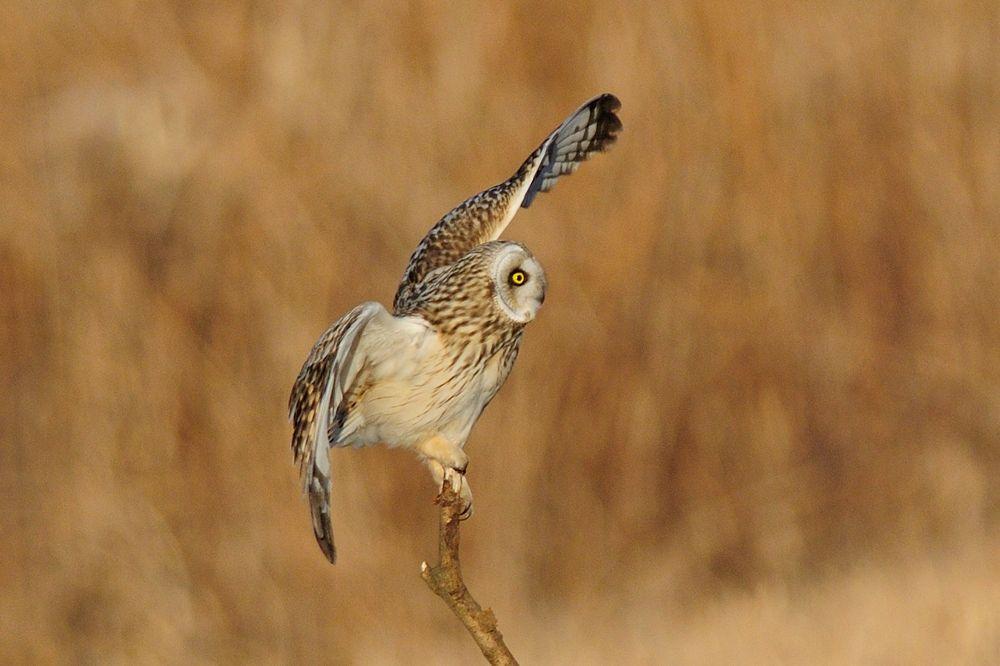 Photo in Animal #short-eared owl #owl #bird