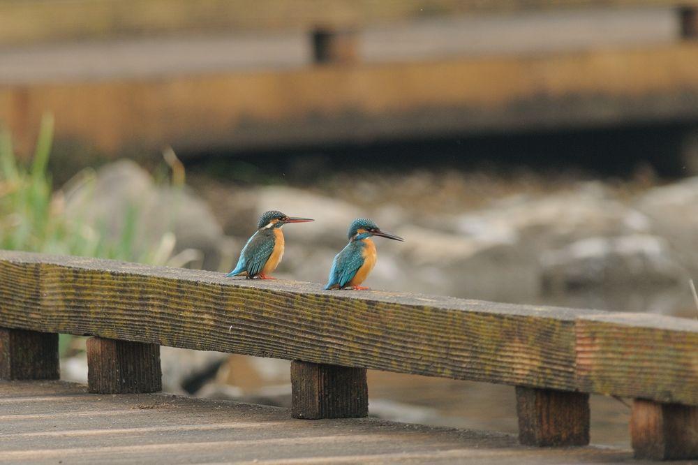 Photo in Animal #kingfisher #bird #animal #pair