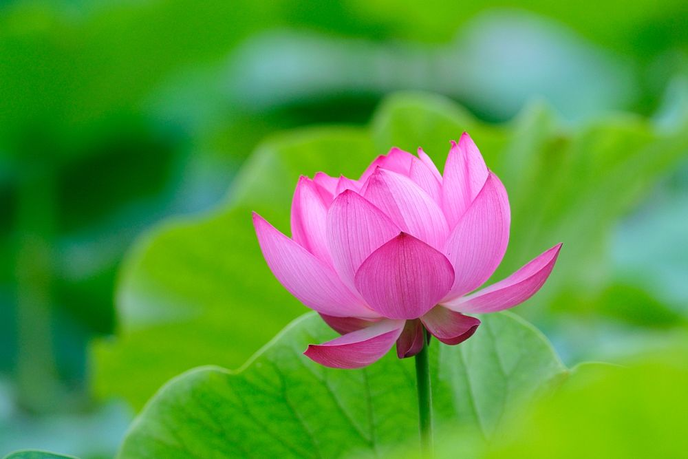 Photo in Nature #lotus #flower #landscape #nature #green #bokeh