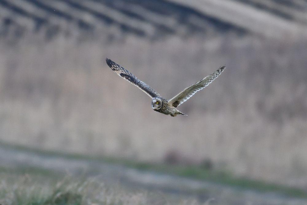 Photo in Animal #short-eardowl #owl #bird #animal #nature #wild #wildlife #catchlight #fantasy #peace #love #lovely #cute #beauty #magical #silence #landscape