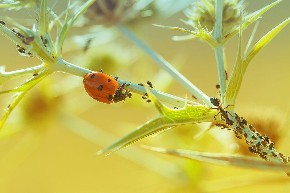 Photo in Macro #ladybug #wolf #red #ant