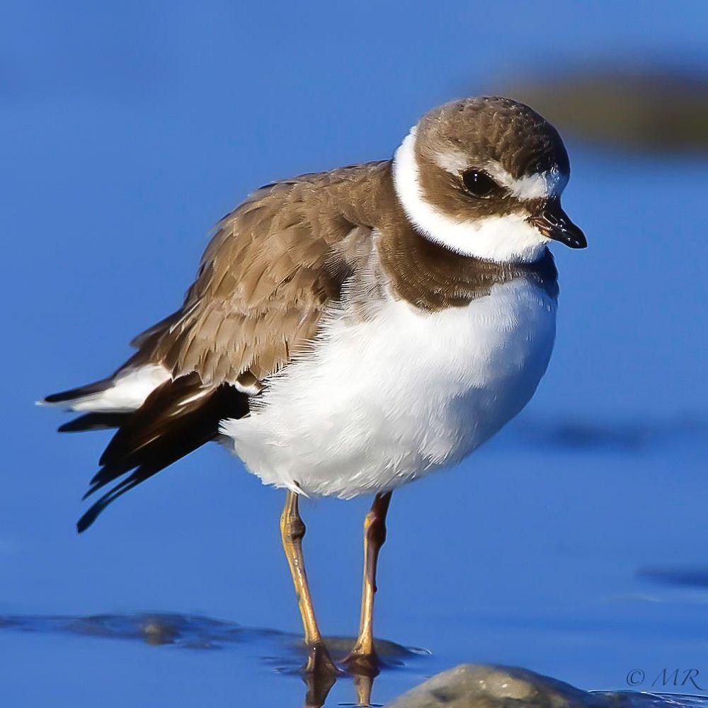 Photo in Random #plover #birds #water #wildlife #canon 7d #300mm f4 #2x extender #600mm