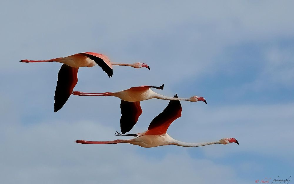 Photo in Random #flamingos #wildlife #birds #canon 7d #420mm #great flamingos #in flight #pallikarnai #chennai #birds photogrpahy