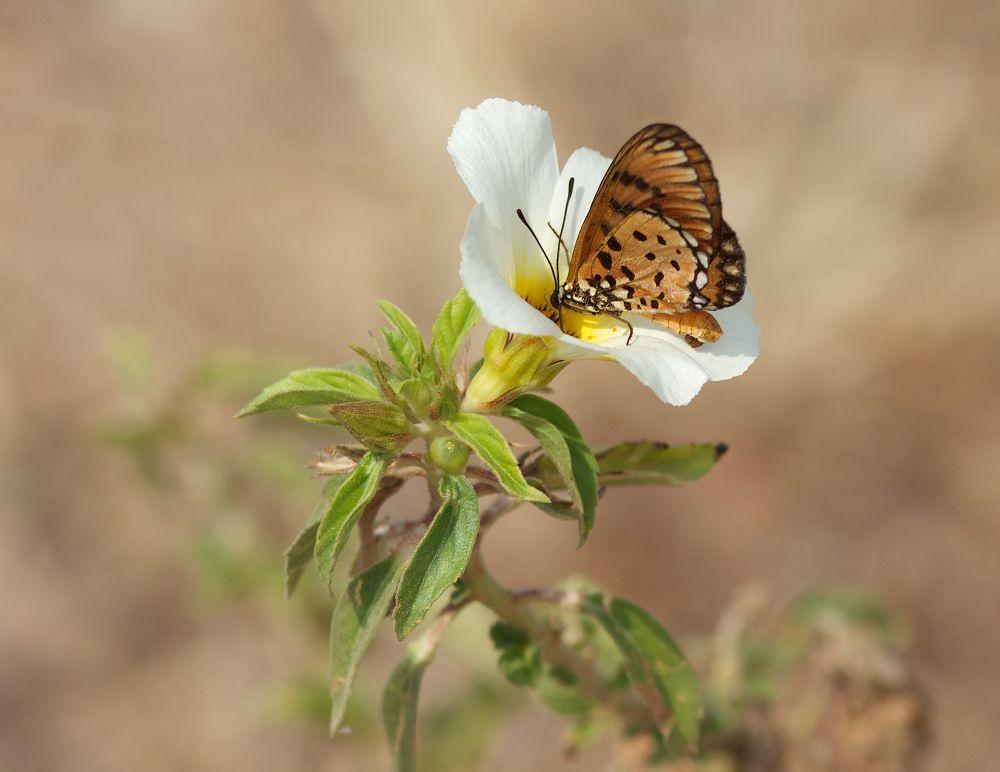 Photo in Random #butterfly #flower #white lilly #7d #100mm #macro