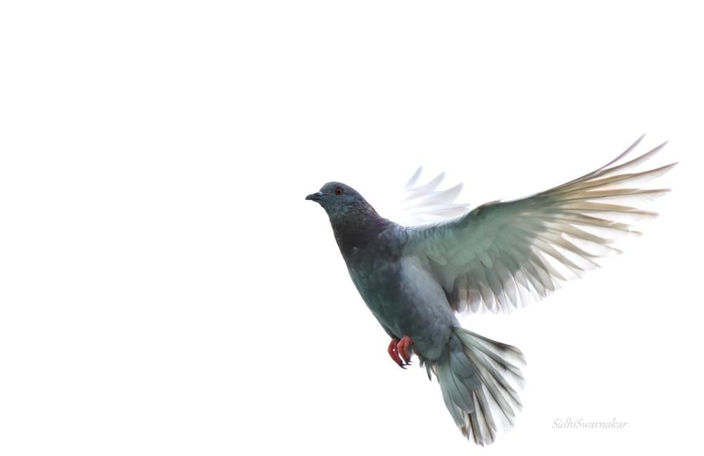 Photo in Abstract #piegeon #bird #beautiful