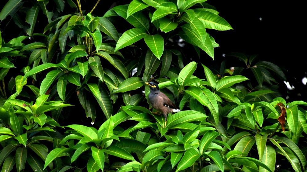 Photo in Animal #bird #mango #tree #green