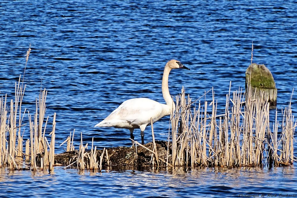Photo in Animal #swan #trumpeter #water #bird