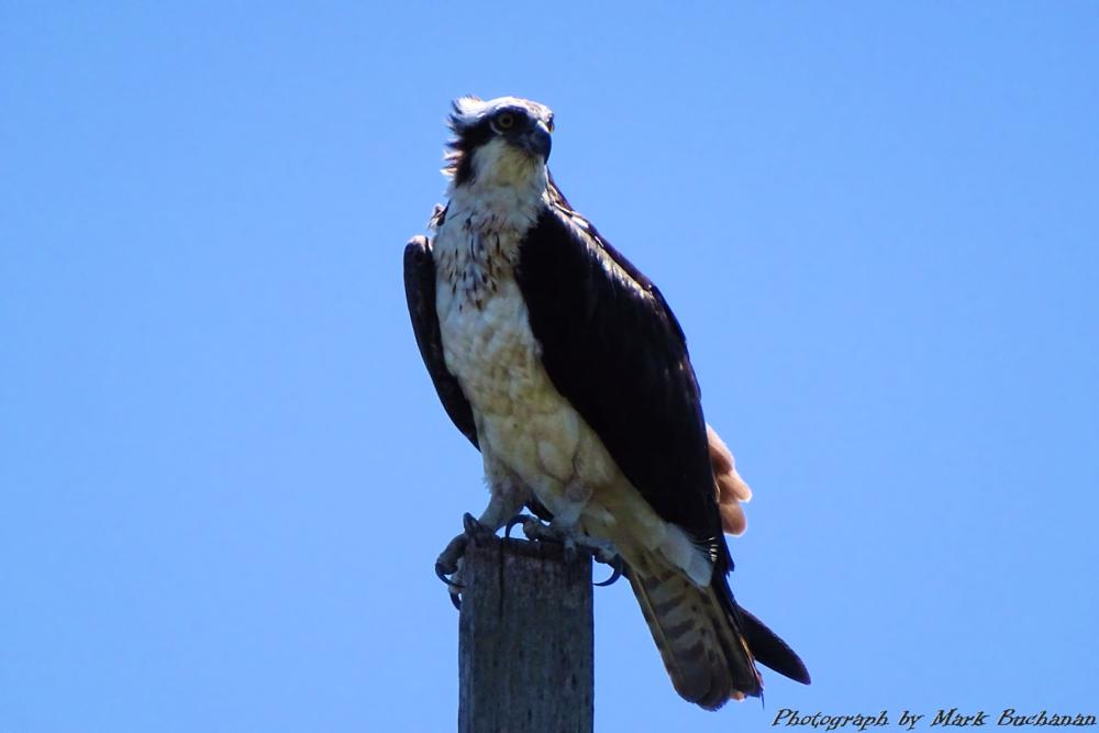Photo in Nature #osprey #nest #snacks #flight #nature