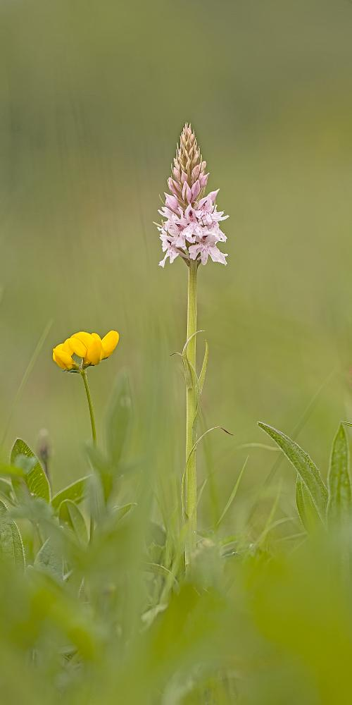 Photo in Macro #common spotted orchid #dactylorhiza fuchsii #bird's foot trefoil #lotus corniculatus #orchid #common #british #pink #spotted #yellow #neighbours #macro #nature #flowers #plants #wildflower #wildflowers