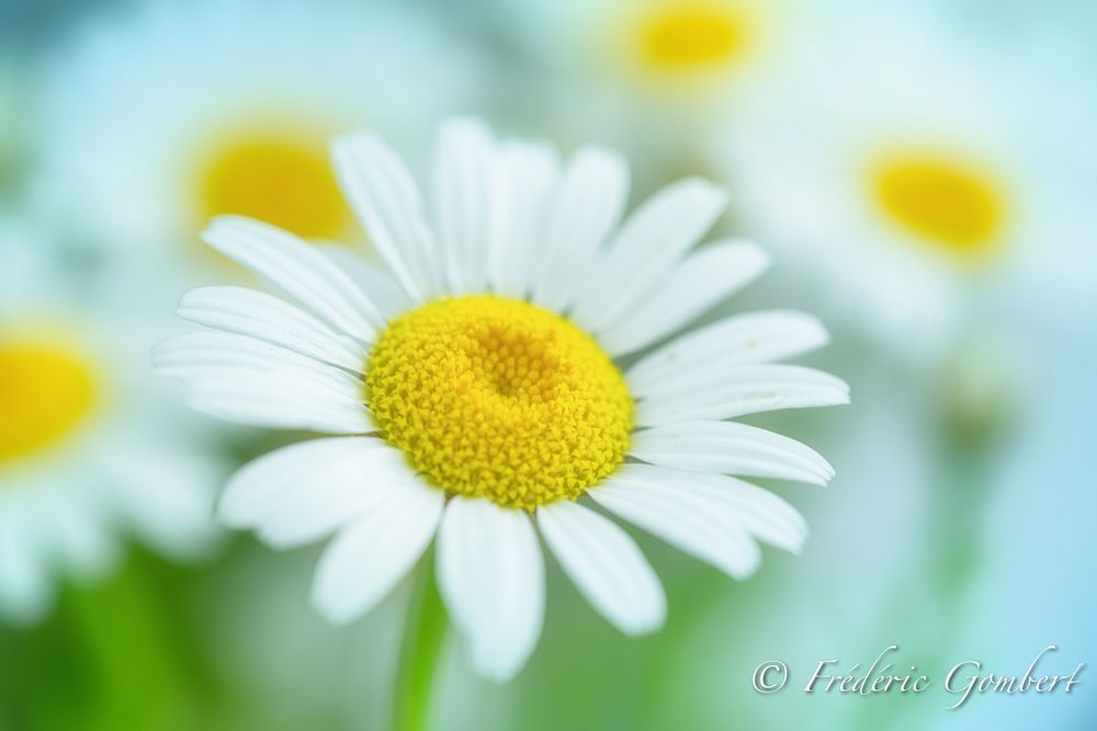 Photo in Macro #flower #daisy #color #white #sun #spring