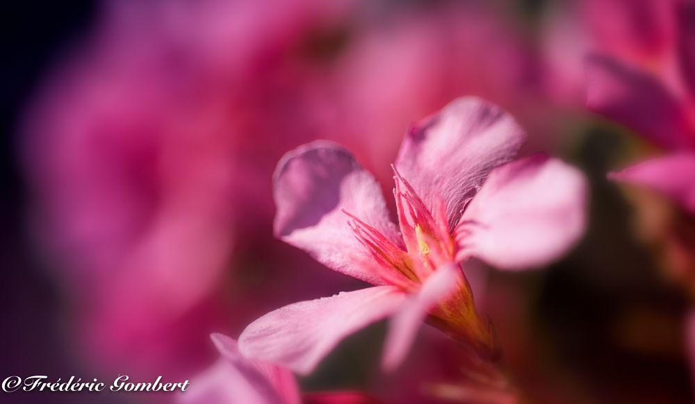 Photo in Macro #oleander #pink #red #light #sun #spring #summer #plant #sunlight #flower #flowers #bloom