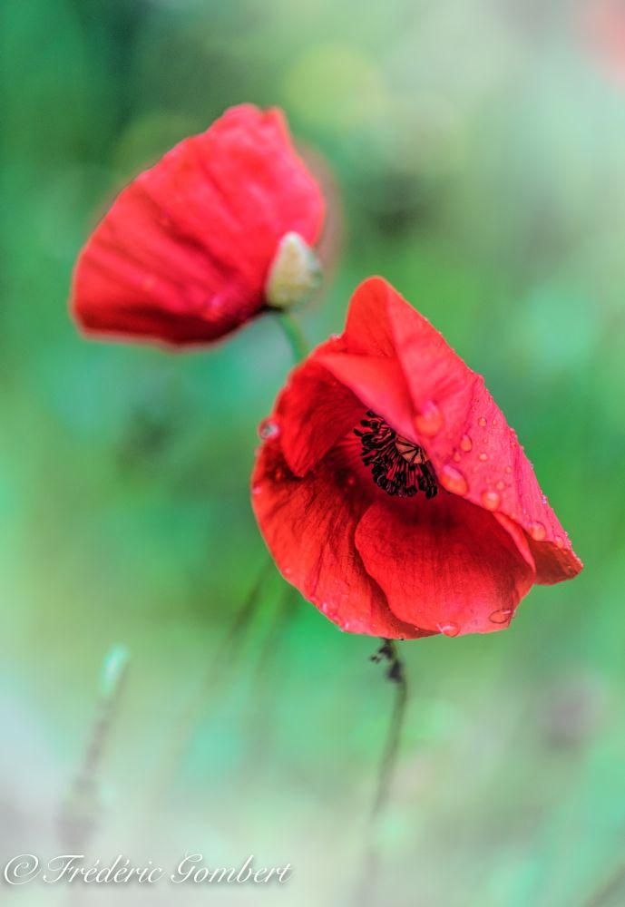Photo in Macro #poppy #poppies #light #rain #raindrop #plant #red #droplet #sun #flower #sweet #flowers #garden
