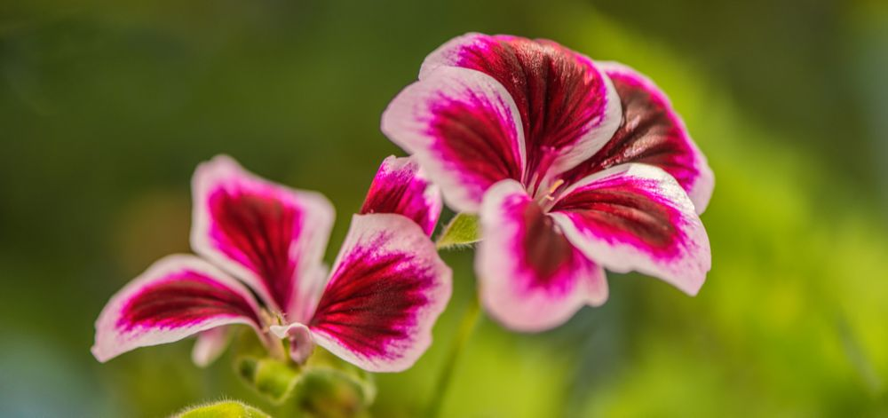 Photo in Macro #morning #light #sun #red #white #color #pink #colors #sunray #green #yellow #colorful #geranium #garden #plant #season #winter #spring