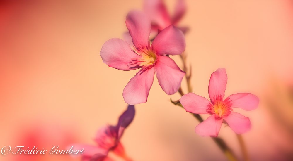 Photo in Macro #oleander #pink #red #ight #sun #sunlight #color #colors #flower #green #flowers #bloom #blossom