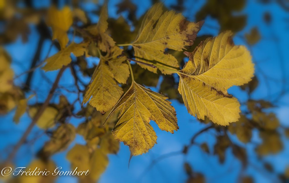 Photo in Macro #yellow #tree #trees #leaves #leaf #blue #sky #morning #plant #winter #autumn
