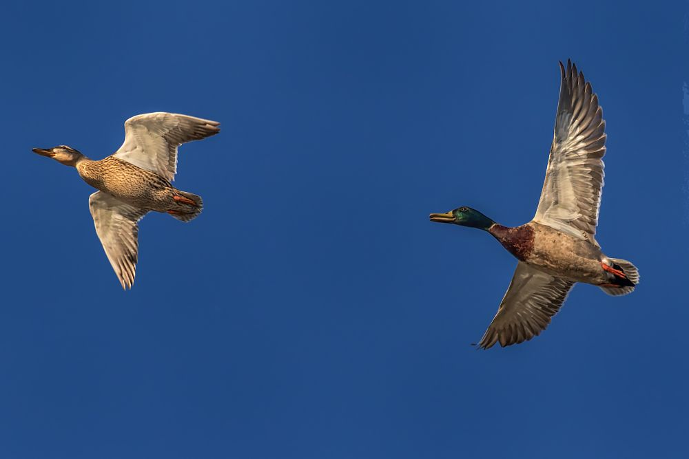 Photo in Animal #bird #duck #mallard #bird in flight #wings #wingspan #bolsa chica #wetlands