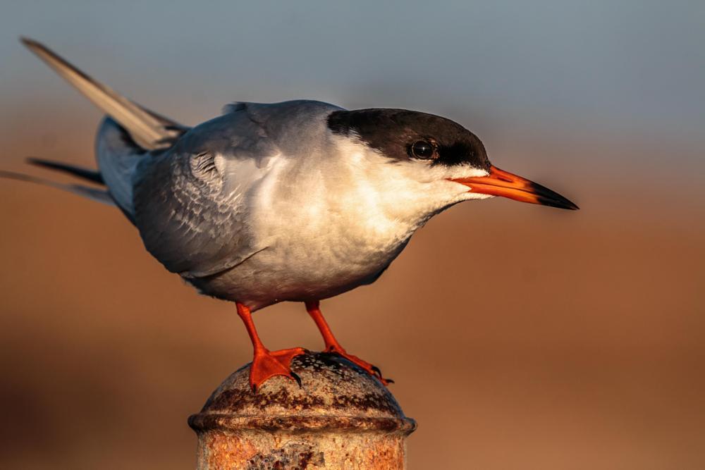 Photo in Animal #bolsa chica #wetlands #tern #elegant tern #birds