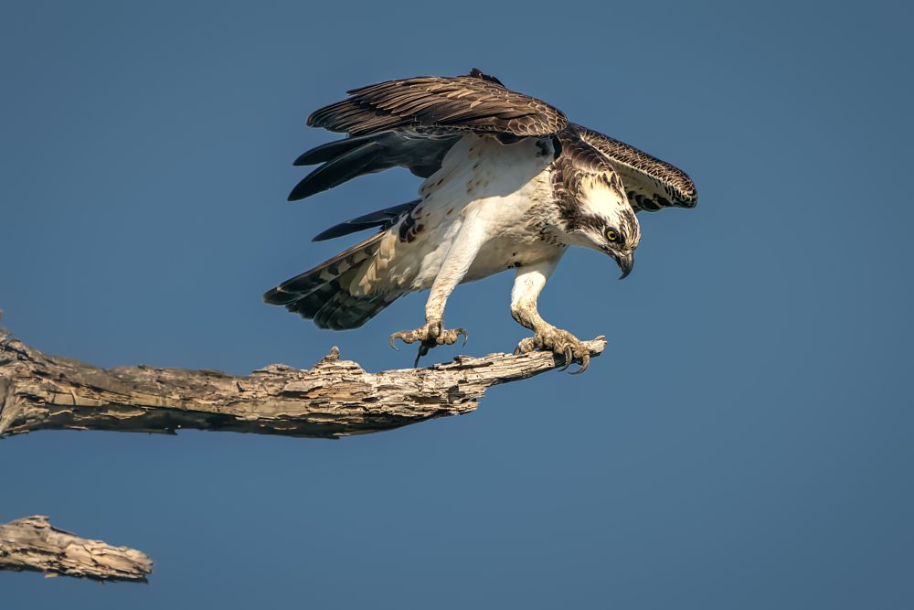Photo in Animal #bird #osprey #raptor #hawk #ready for take-off #dead tere #perch #branch #wings up #one leg stand #bolsa chica #ecological reserve