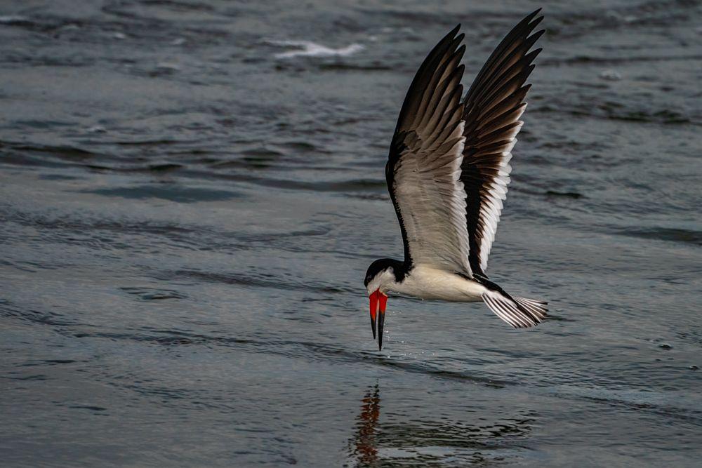 Photo in Animal #bif #bolsa chica #bird #bird fishing #bird in flight #birdphotography #black skimmer #ecological reserve #feather details #late afternoon light #no pickup #shallows #skimming #sunset #wetlands