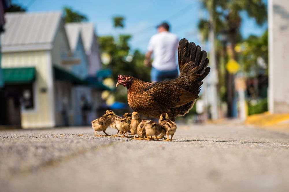 Photo in Animal #chicken #poule #poussin #animals #street #amazing #beauty