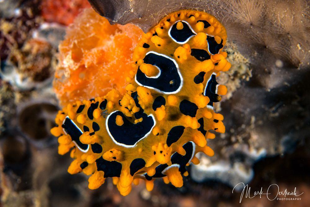 Photo in Underwater #nudibranch #scuba #orange #nature #water #sea #sealife #underwater