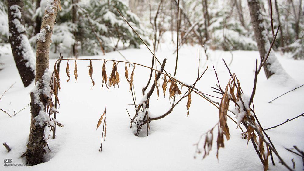 Photo in Random #canada #moncton #new brunswick #branch #clothesline #dry #leaf #snow #winter