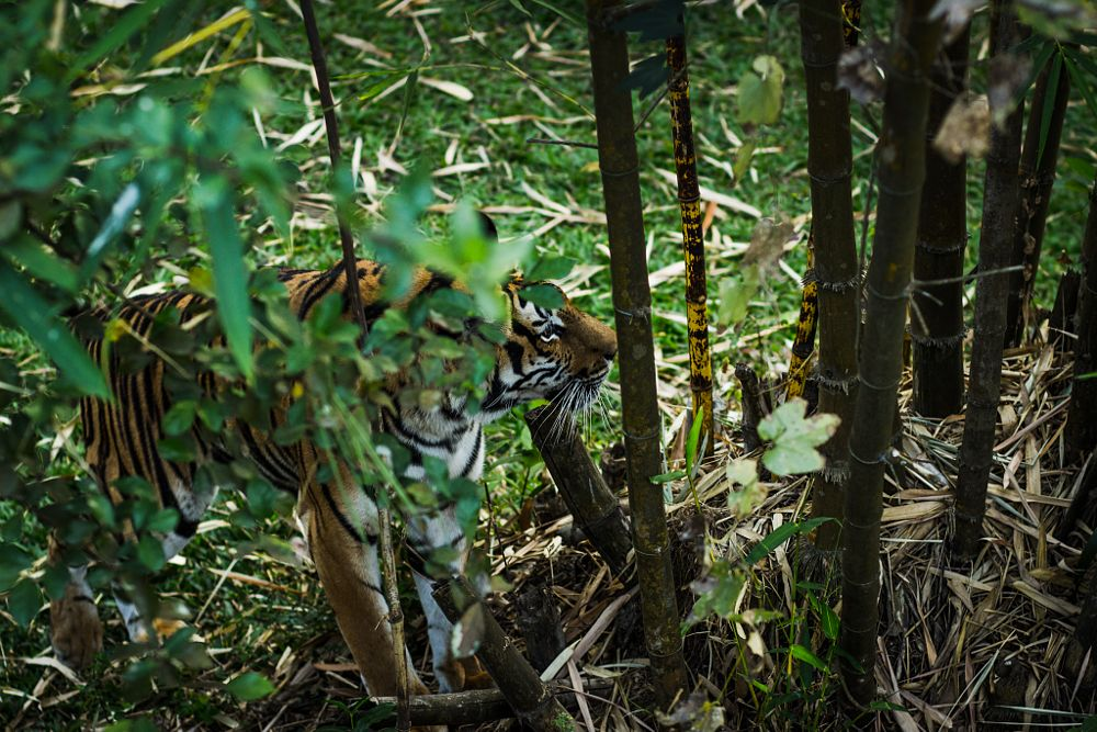 Photo in Nature #ytaphotography #finding #fine art #wildlife #tiger #someone #nature