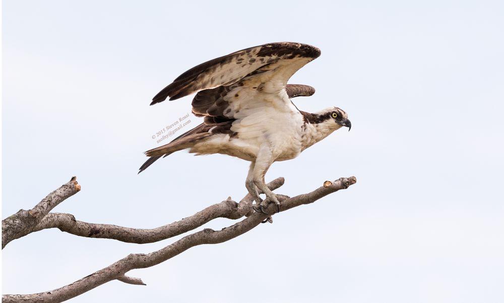 Photo in Animal #osprey #portrait #bird #nature #wildlife