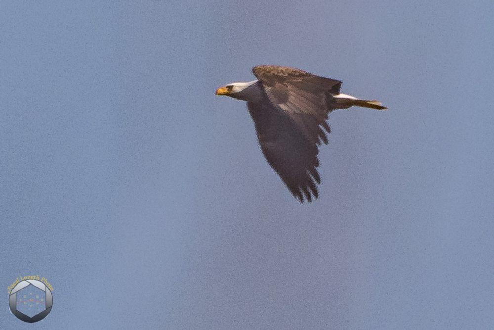 Photo in Animal #baldeagle #bird #nature #newyearseve #swanpoint #wildlife #winter #youpic