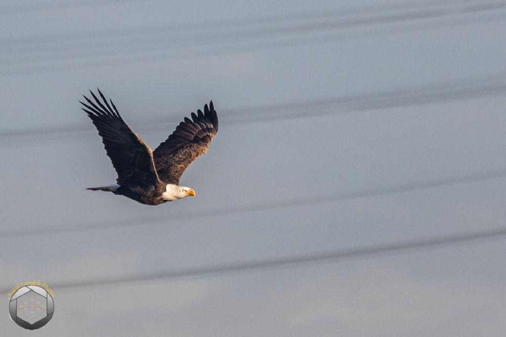 Photo in Animal #baldeagle #bird #nature #swanpoint #wildlife #winter