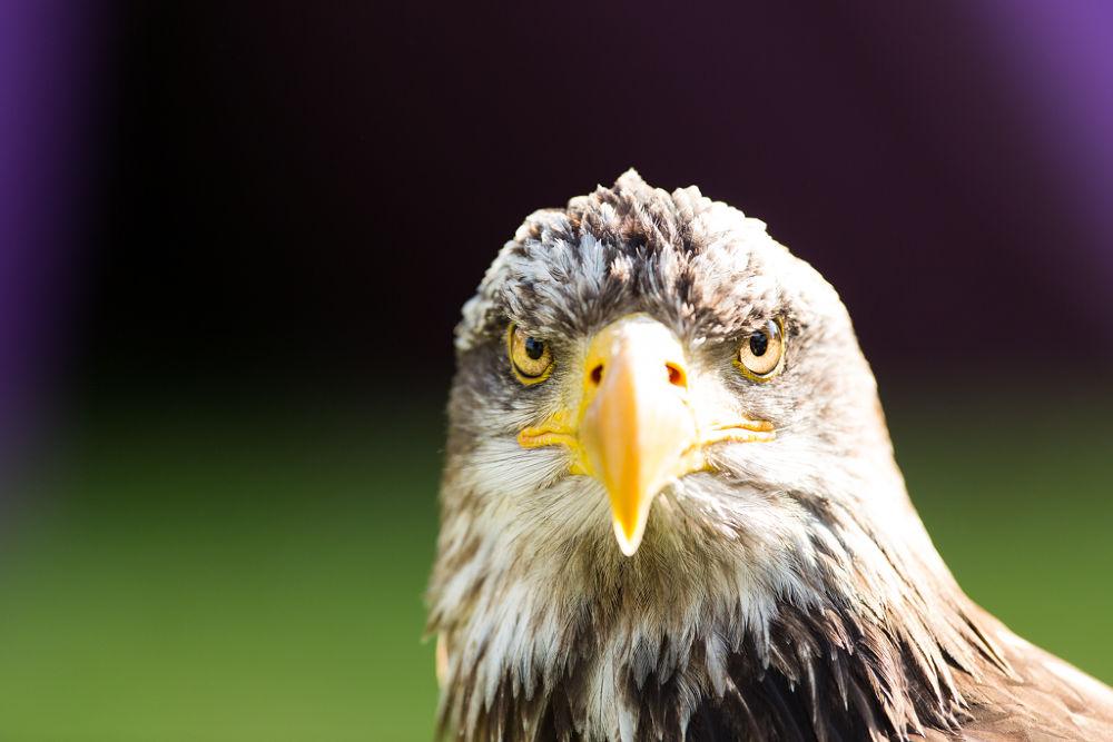 Photo in Animal #eagle #animal #aigle #animaux #oiseaux