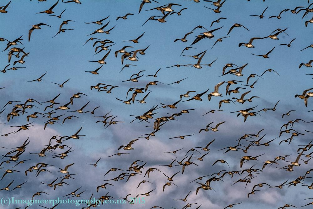 Photo in Nature #godwits #flight #birds