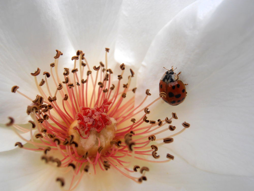 Photo in Macro #red #ladybug #insects #white #rose #flowers #petals #stamens #pure #nature #colorful #macro #snezana petrovic