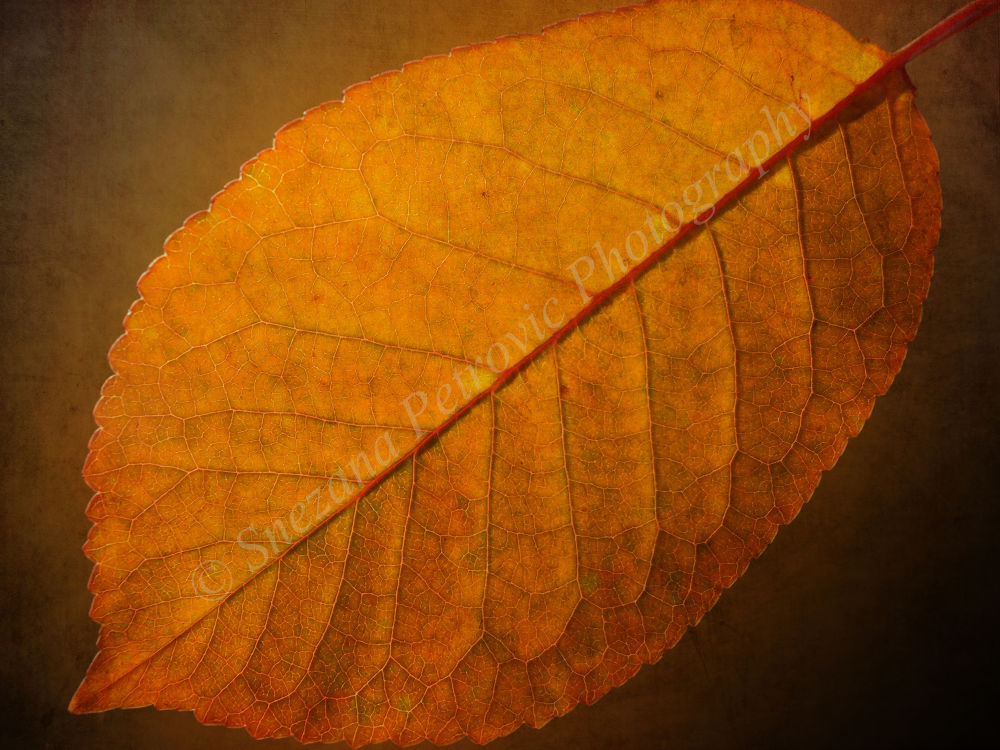 Photo in Macro #golden #leaf #tree #autumn #forest #nature #colorful #texture #macro #snezana petrovic