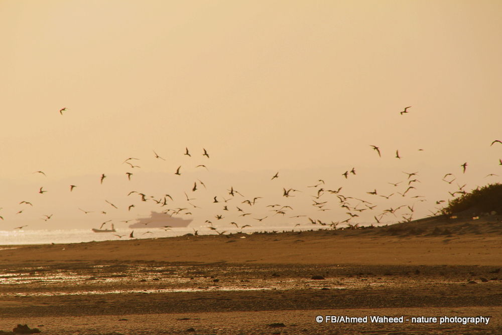 Photo in Landscape #lesser #crested #terns #bird #birds #sunset #boat #sea #island #red sea #egypt