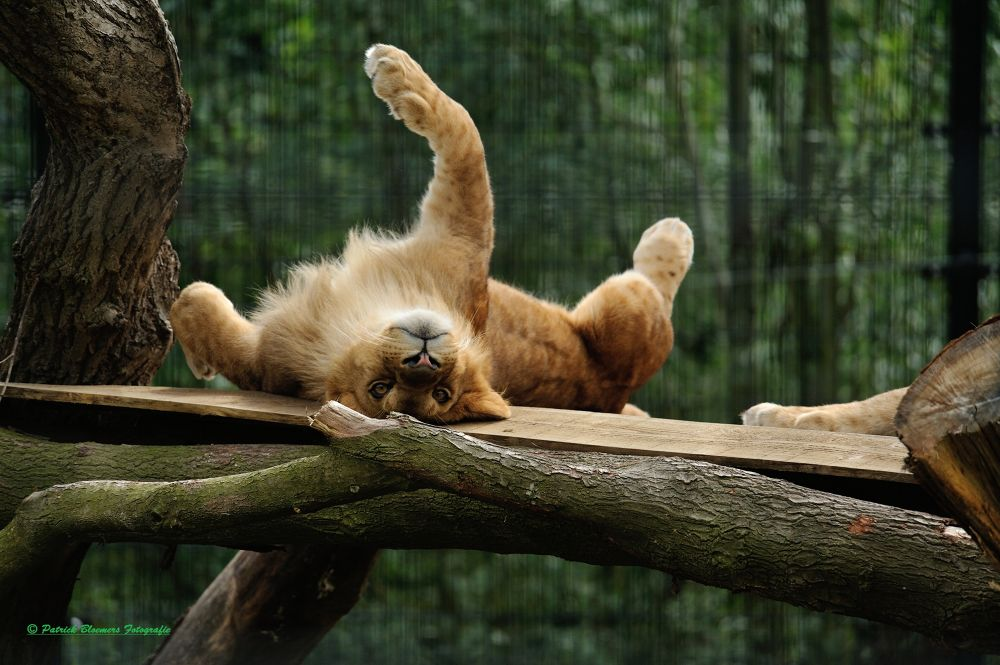 Photo in Animal #leeuw