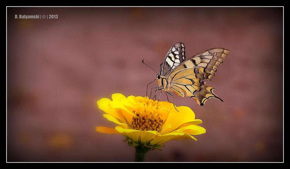 Photo in Macro #nature #macro #flowers #butterfly #bulgaria
