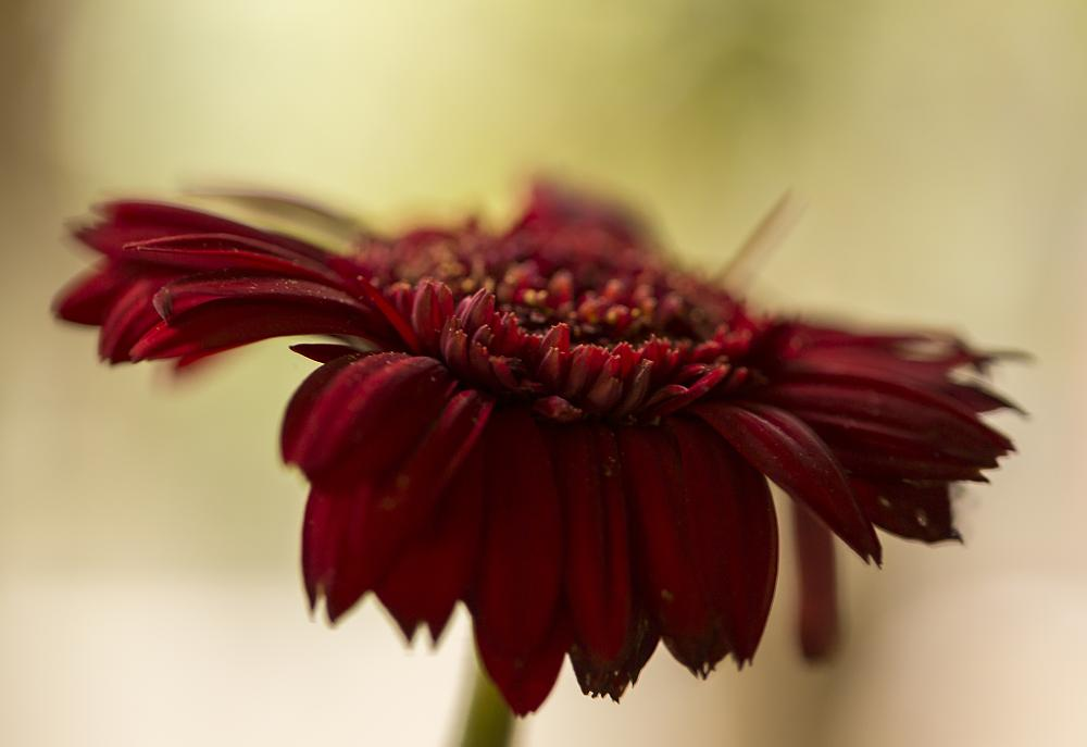 Photo in Macro #macro #dof #daisy #red #flower #garden #summer #sun