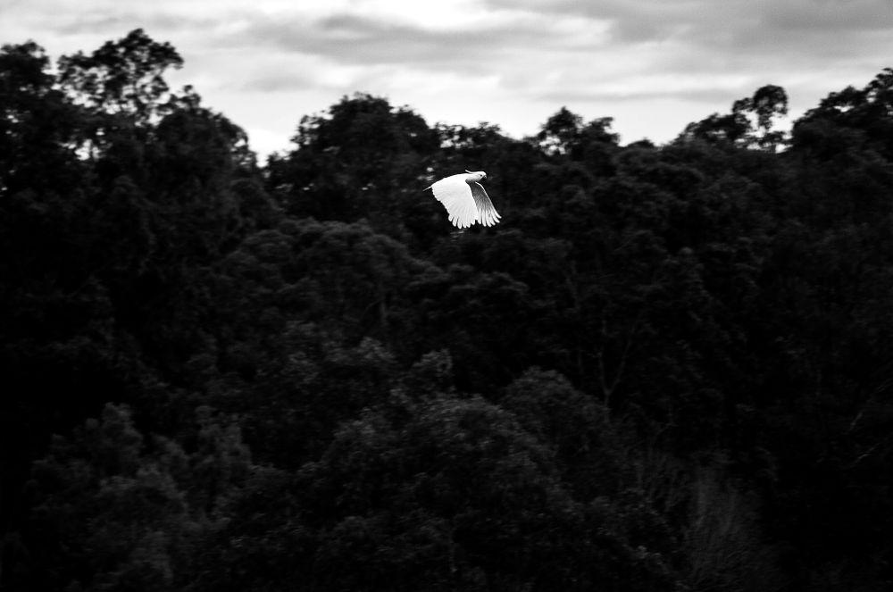 Photo in Black and White #cockatoo #birdlife #aerobatics #wingtips #fingers