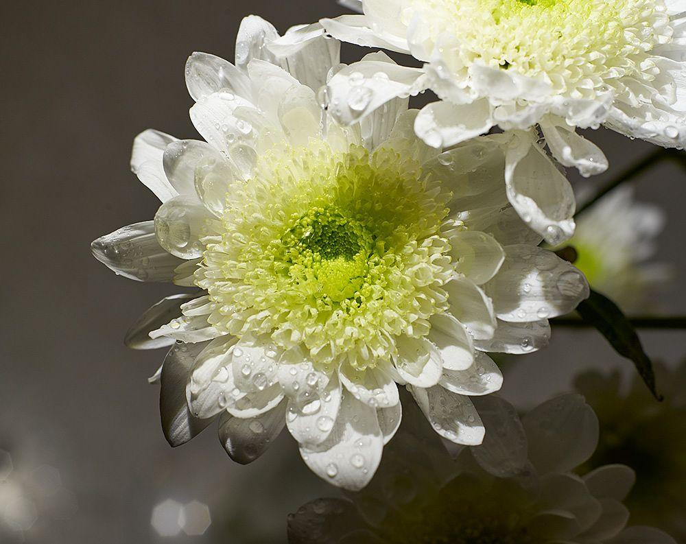Photo in Macro #chrysanthemum #flower #flowers #plant #water drops