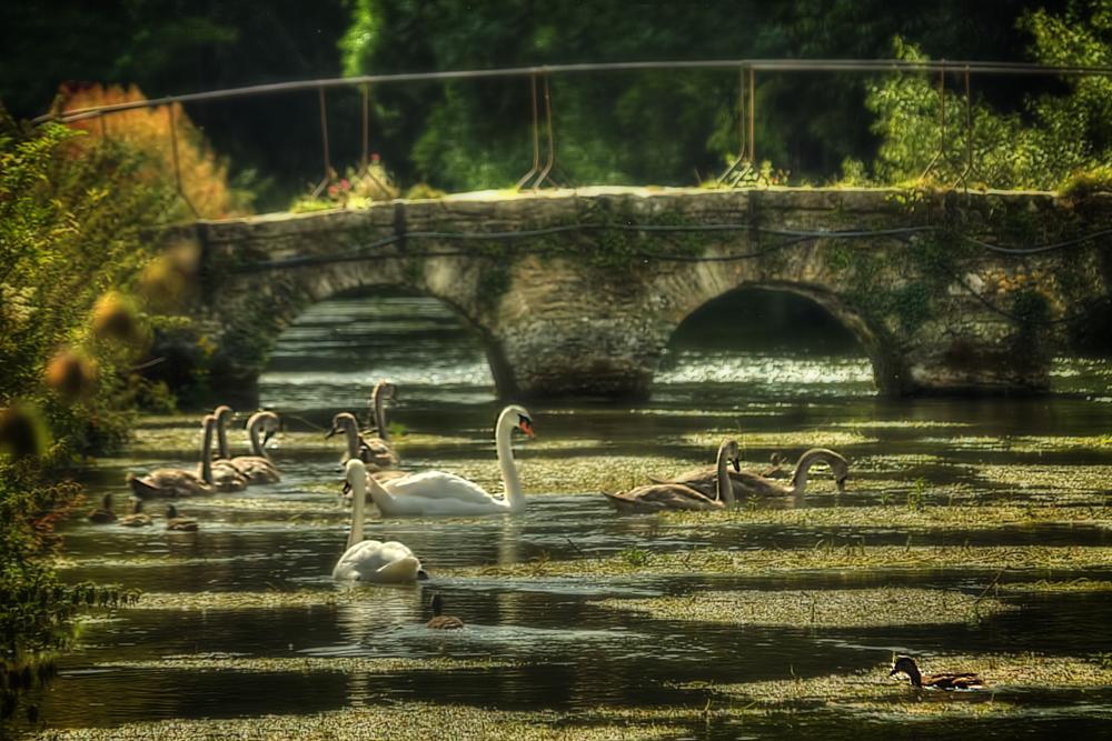 Photo in Nature #river #bridge #swans