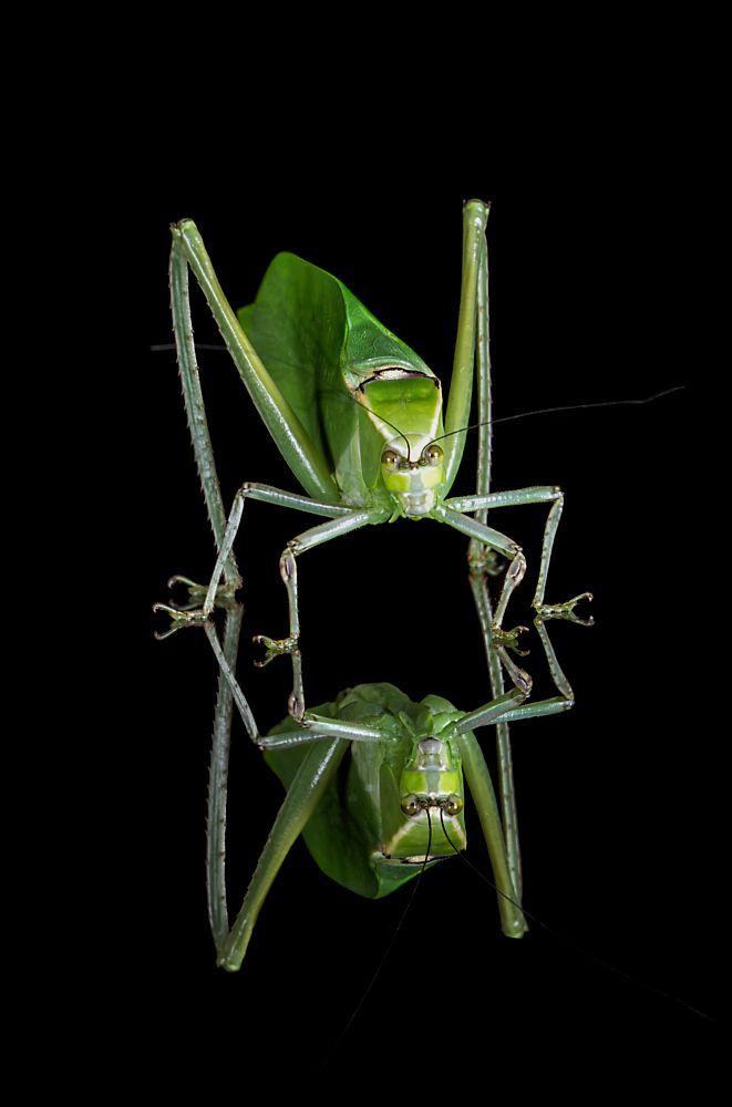 Photo in Nature #katydid #bush cricket #macro #reflection #gloss #black #acrylic